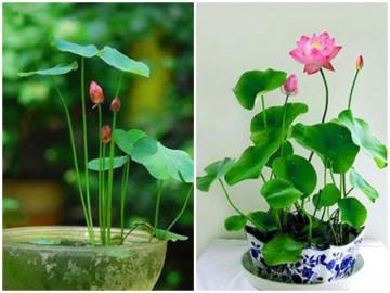 Bí quyết trồng sen chậu ít sâu bệnh, cho hoa đẹp, tỉ mẩn nhưng ai cũng có thể trồng