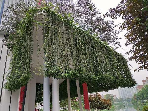 12 cây dây leo đẹp, dễ trồng trong nhà hoặc ngoài ban công - 13