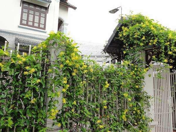 12 cây dây leo đẹp, dễ trồng trong nhà hoặc ngoài ban công - 6