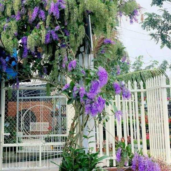 12 cây dây leo đẹp, dễ trồng trong nhà hoặc ngoài ban công - 12