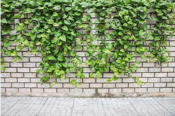 12 cây dây leo đẹp, dễ trồng trong nhà hoặc ngoài ban công - 8