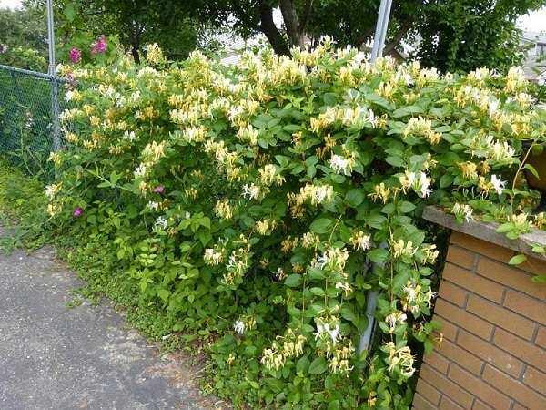 12 cây dây leo đẹp, dễ trồng trong nhà hoặc ngoài ban công - 7