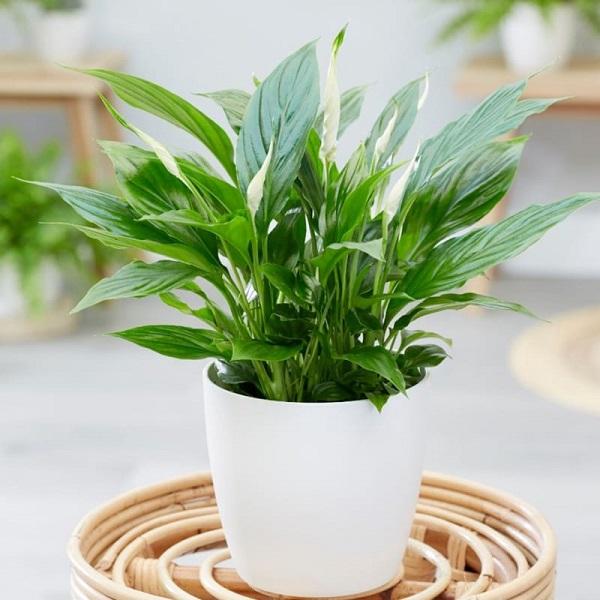 Các loại cây để bàn làm việc hợp mệnh, hợp tuổi và tốt cho sức khỏe - 8