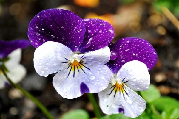 Hoa Păng Xê: Đặc điểm, ý nghĩa, cách trồng và chăm sóc ra hoa đẹp - 1