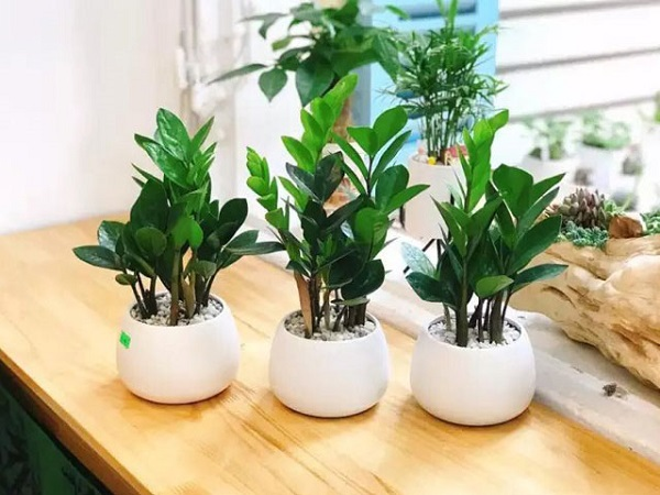 Các loại cây để bàn làm việc hợp mệnh, hợp tuổi và tốt cho sức khỏe - 4