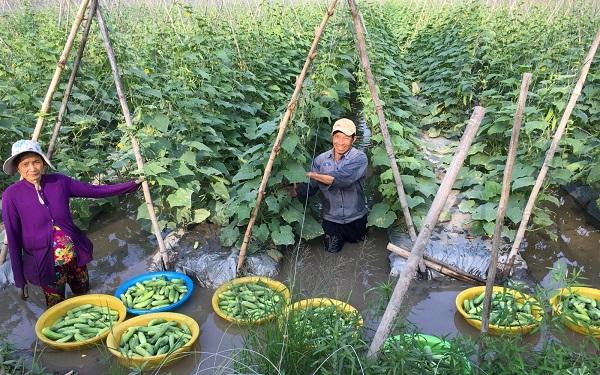Cách trồng dưa leo trong chậu, thùng xốp đơn giản tại nhà - 6