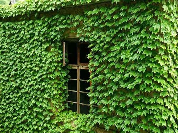 12 cây dây leo đẹp, dễ trồng trong nhà hoặc ngoài ban công - 3