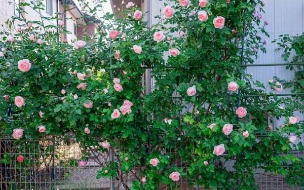 12 cây dây leo đẹp, dễ trồng trong nhà hoặc ngoài ban công - 5