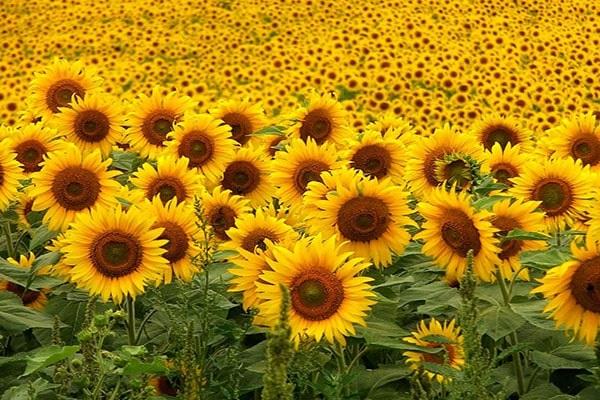 Ý nghĩa các loài hoa trong tình yêu, đời sống theo loại và màu sắc - 15