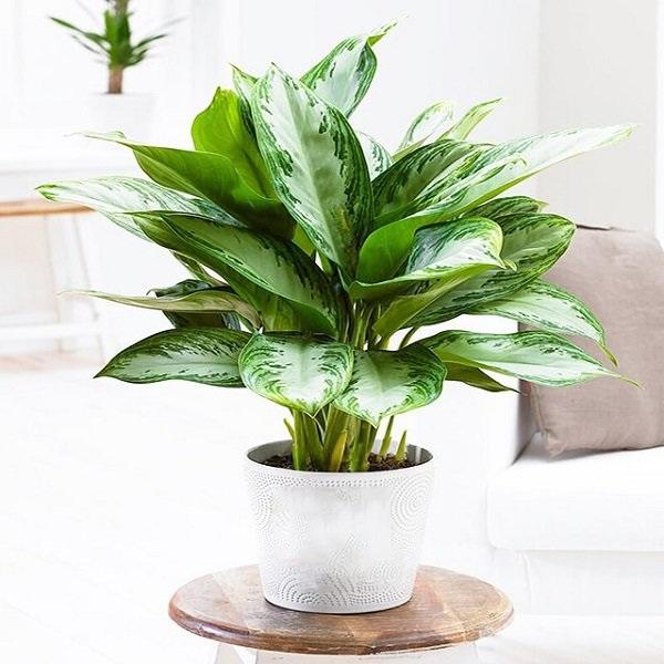 Các loại cây để bàn làm việc hợp mệnh, hợp tuổi và tốt cho sức khỏe - 10