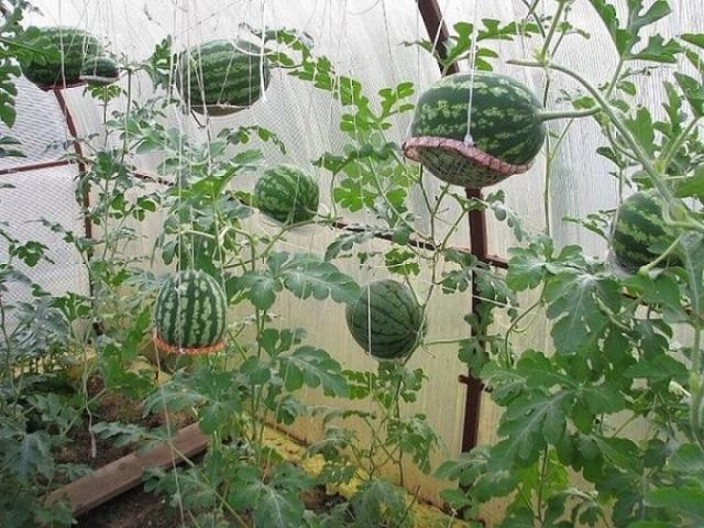 Cách trồng dưa hấu bằng hạt tại nhà đúng kỹ thuật ra nhiều quả