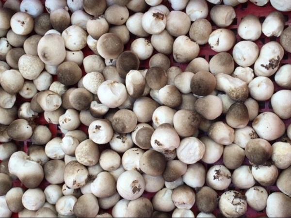 Cách trồng nấm rơm bằng mùn cưa, rơm tại nhà cho năng suất cao - 1