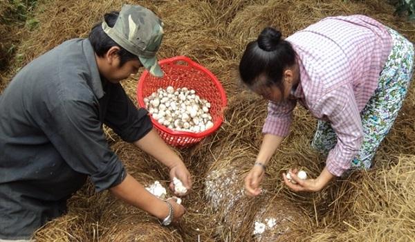 Cách trồng nấm rơm bằng mùn cưa, rơm tại nhà cho năng suất cao - 4