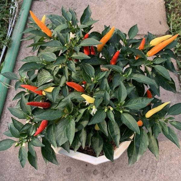 Cách trồng ớt trong chậu tại nhà đơn giản cho trĩu quả quanh năm - 5