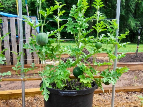 Cách trồng dưa hấu bằng hạt tại nhà đúng kỹ thuật ra nhiều quả - 5