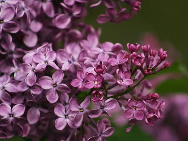 Hoa Tử Đinh Hương: Ý nghĩa, công dụng, cách trồng và chăm sóc - 1
