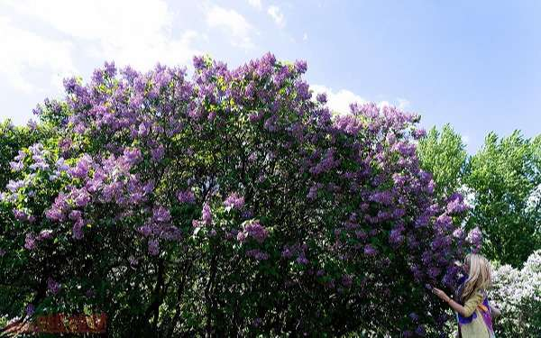 Hoa Tử Đinh Hương: Ý nghĩa, công dụng, cách trồng và chăm sóc - 4