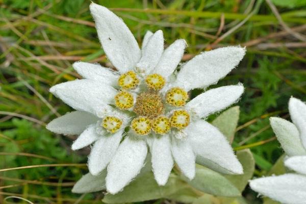Hoa Nhung Tuyết: Đặc điểm, ý nghĩa và cách chăm sóc giúp hoa nở đẹp - 1