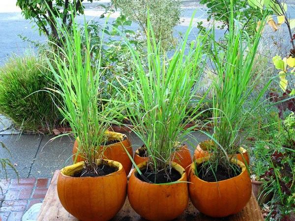 Cách trồng sả tại nhà đơn giản trong nước, bằng chậu hoặc thùng xốp - 4
