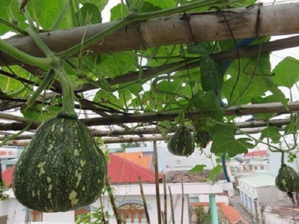 Cách trồng bí đỏ bằng hạt tại nhà đơn giản ra nhiều quả - 5