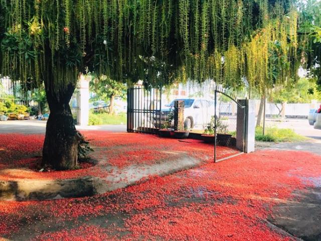 Loại cây được ví như mèo Thần Tài, trồng trước cửa nhà mang lại may mắn