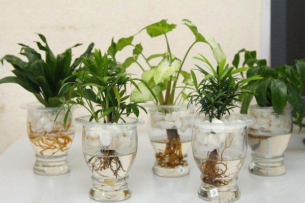 Cách chăm sóc giúp cây để bàn xanh tốt, không bị vàng lá, úng nước - 2
