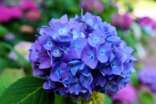 Hoa Cẩm Tú Cầu: Đặc điểm, ý nghĩa, cách trồng và chăm sóc - 1