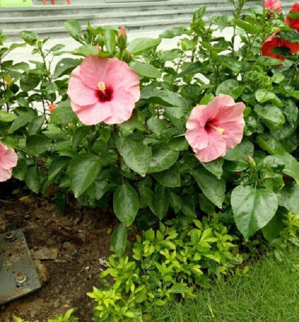 Hoa Dâm Bụt: Phân loại, ý nghĩa và cách trồng giúp hoa nở đẹp - 6