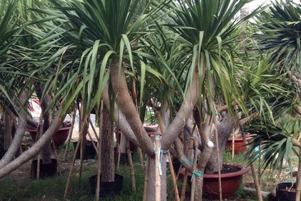 Cây phát tài: Phân loại, đặc điểm, ý nghĩa và cách trồng từng loại cây - 1