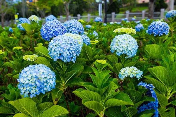 Hoa Cẩm Tú Cầu: Đặc điểm, ý nghĩa, cách trồng và chăm sóc - 4
