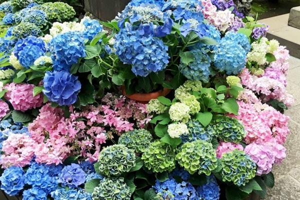 Hoa Cẩm Tú Cầu: Đặc điểm, ý nghĩa, cách trồng và chăm sóc - 3