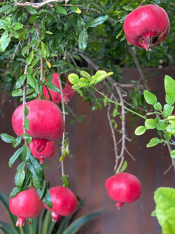 Hoa hậu Dương Mỹ Linh sang Mỹ mát tay trồng trái cây, lựu lúc lỉu đỏ rực một góc vườn - 5