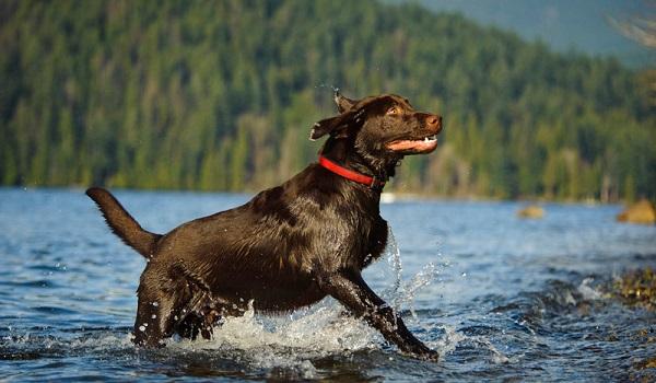 Chó Labrador: Nguồn gốc, đặc điểm, giá bán và cách nuôi - 6