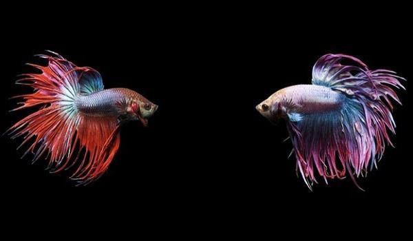 Cá Lia Thia: Nguồn gốc, đặc điểm, cách chăm sóc và một số sự thật thú vị - 6