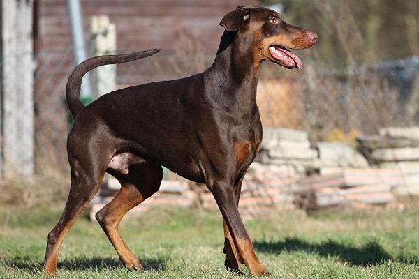 Chó Doberman: Nguồn gốc, đặc điểm, giá bán và cách nuôi - 1
