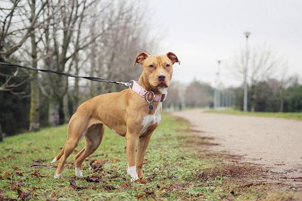 Chó Pitbull: Nguồn gốc, đặc điểm, phân loại và cách nuôi - 3