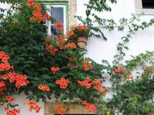 4 loại hoa leo tường dễ trồng nhất, phủ thành thảm hoa rất đẹp sau 1 năm
