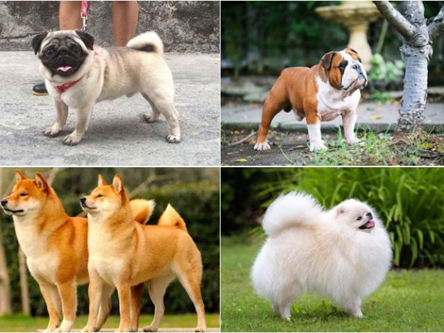 Chó cảnh - Những giống chó được ưa chuộng và cách nuôi