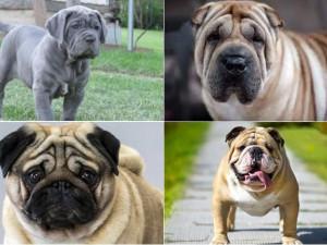 Những giống chó mặt nhăn đáng yêu và phổ biến nhất