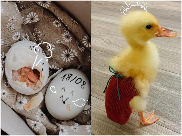 Tự mua trứng vịt lộn về ấp mùa dịch, mẹ Hà Nội được thú nuôi cưng xỉu