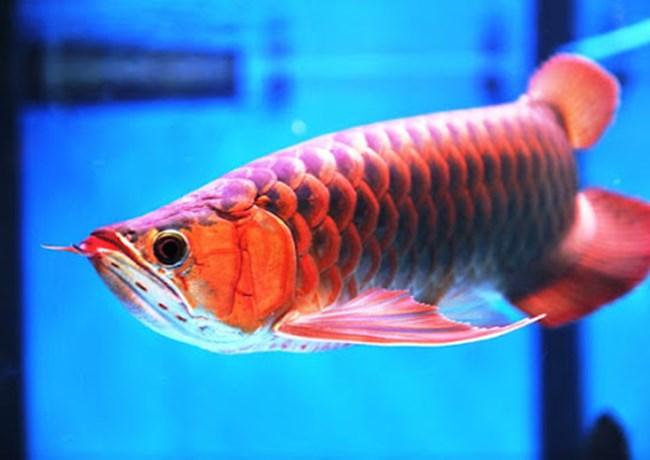 Cá rồng - Đặc điểm, phân loại và cách nuôi cá khỏe mạnh - 2