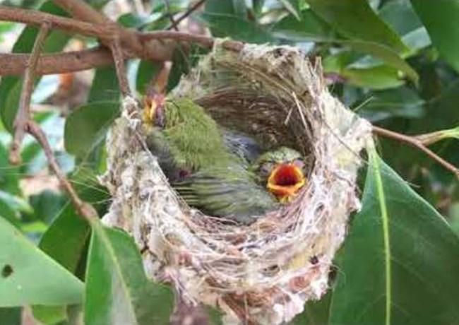 Chim Sâu - Đặc điểm, môi trường sống và cách nuôi - 7