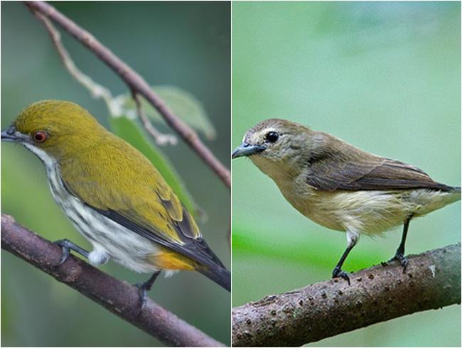 Chim Sâu - Đặc điểm, môi trường sống và cách nuôi - 4