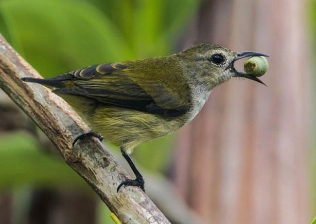 Chim Sâu - Đặc điểm, môi trường sống và cách nuôi - 2