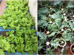Làm nông trên nóc nhà, mẹ đảm Hải Dương bội thu rau xanh cả 4 mùa