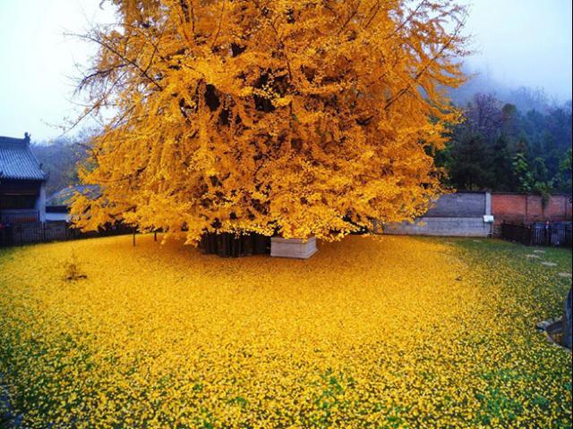Lạ lùng cây nghìn năm chuyển màu vàng rực, tồn tại từ thời tiền sử suốt 200 triệu năm