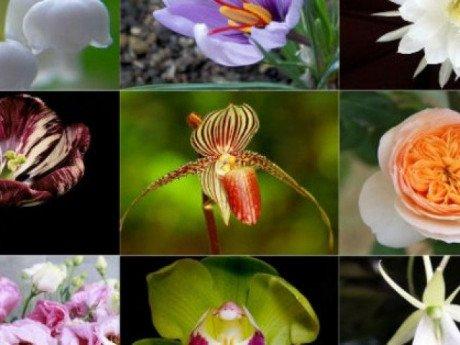 9 loài hoa đắt nhất hành tinh, có loại đến vàng 9999 cũng không là gì
