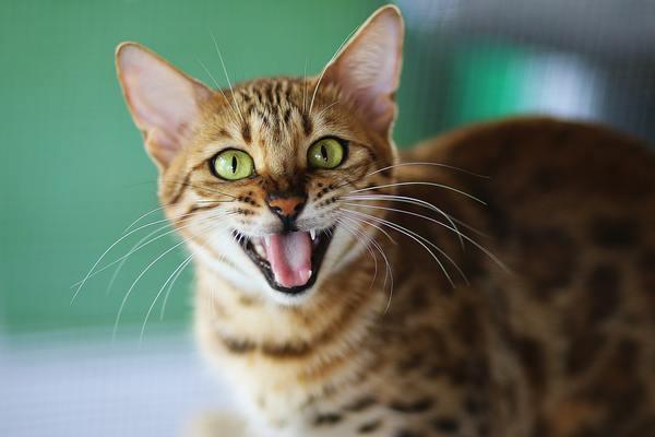Mèo Bengal giá bao nhiêu? Đặc điểm, tính cách và cách chăm sóc - 3