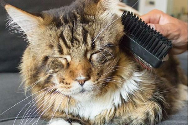 Mèo Maine Coon: Đặc điểm, cách nuôi và chăm sóc, giá bán - 6
