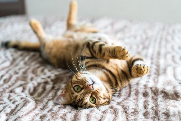 Mèo Bengal giá bao nhiêu? Đặc điểm, tính cách và cách chăm sóc - 8